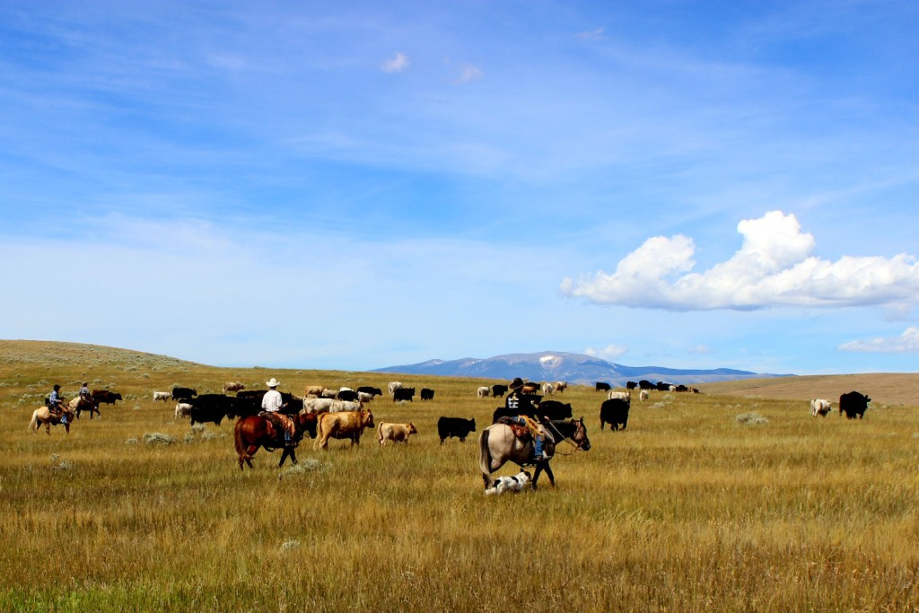 Montana Cattle Drives - Battle Creek Ranch